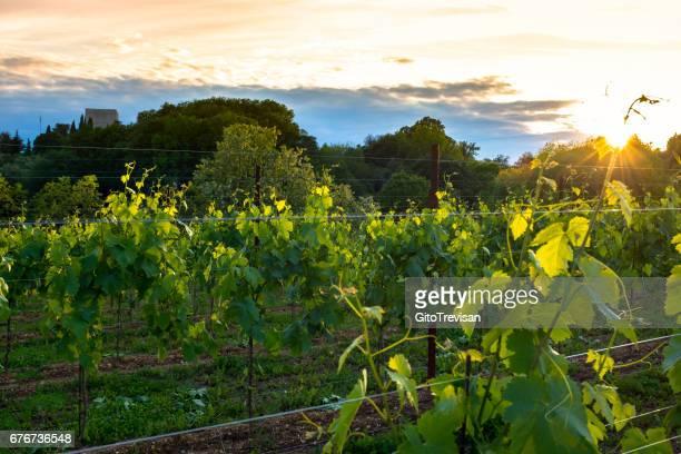 Vineyards in Nervesa della Battaglia-Treviso-Italy, land of Prosecco wine