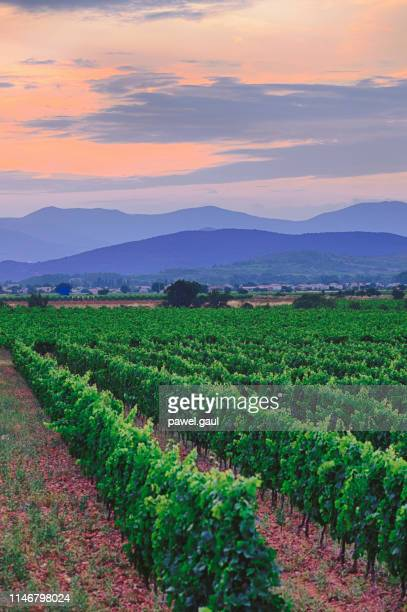 vineyards in south of france languedoc roussillon at sunset - languedoc rousillon stock pictures, royalty-free photos & images