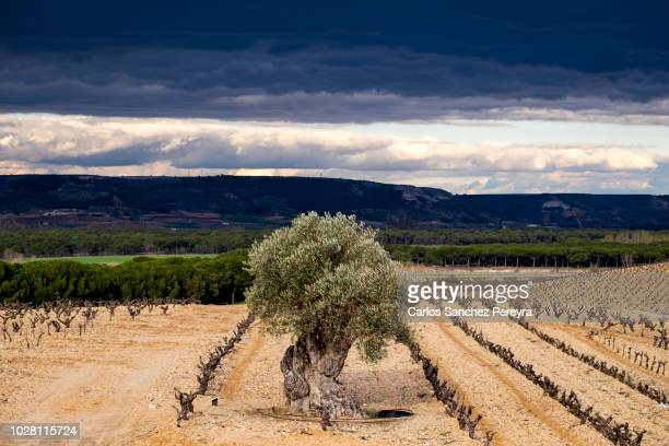 vineyards in spain - valladolid spanish province stock pictures, royalty-free photos & images