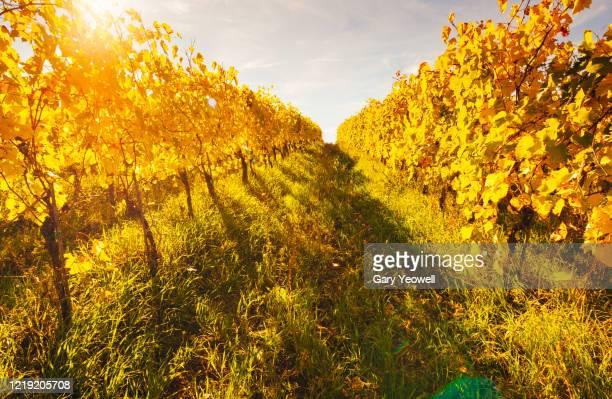 vineyards in the autumn - モンタルチーノ ストックフォトと画像