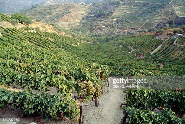 Vineyards in the Douro valley Portugal