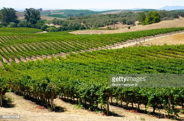 Vineyards in the Los Carneros section in Sonoma of Napa Valley