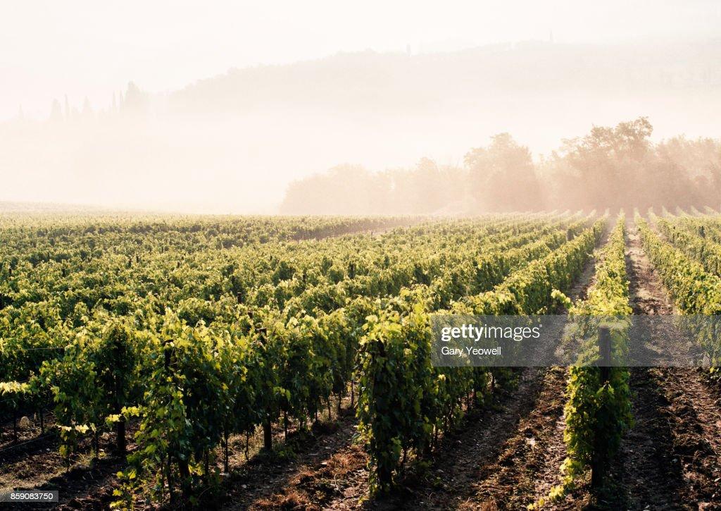 Vineyards in the mist : Stock Photo