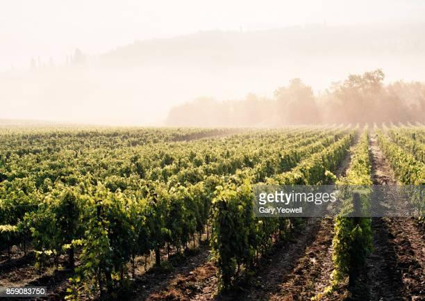 Vineyards in the mist