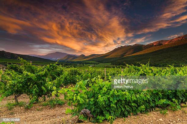 Vineyards in the mountains at sunset