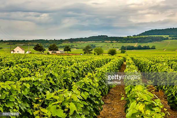 Vineyards in the Puligny-Montrachet area France