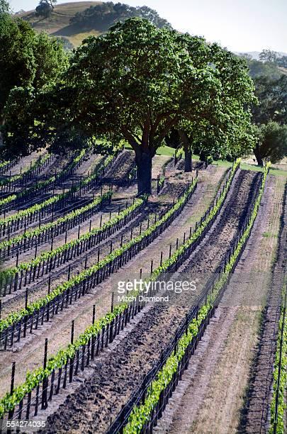 Vineyards in the Santa Ynez Valley
