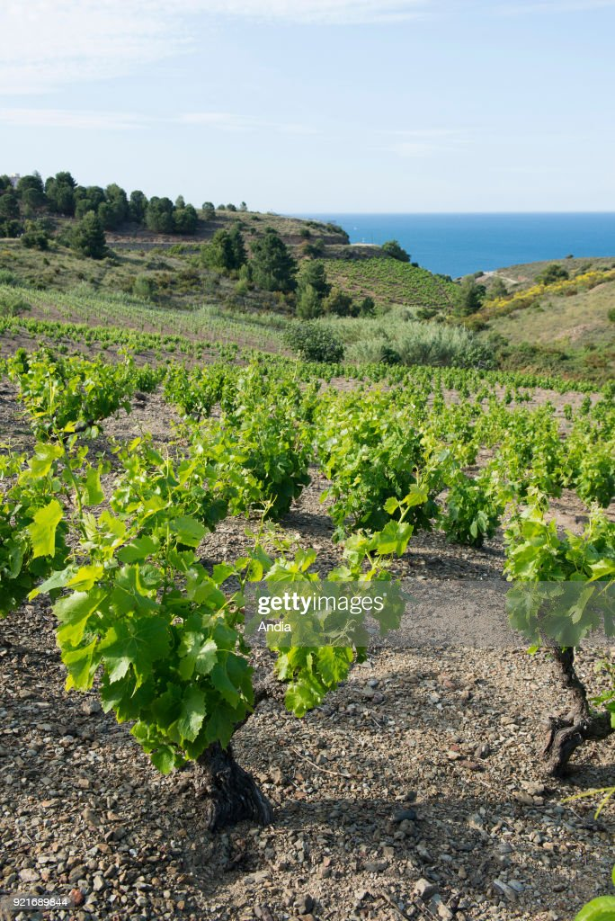 Vineyards in the south of Banyuls-sur-Mer (south of France).