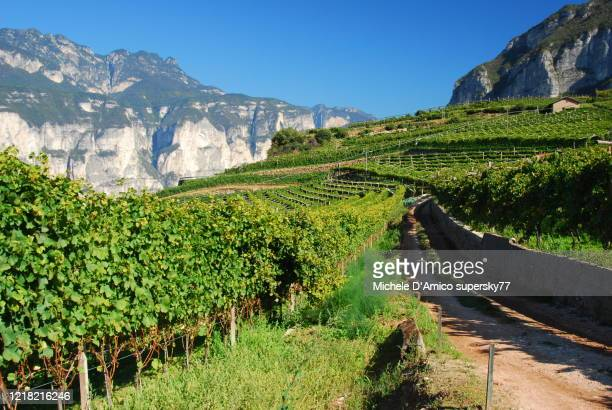 vineyards in trentino - トレンティーノ ストックフォトと画像