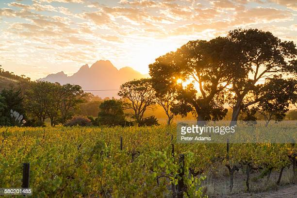 Vineyards in Winelands, Province, South Africa