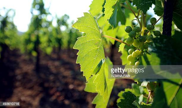 Vineyards le capezzine at Vagliano di Montepulciano near Siena on 6 July 2011 owned by Belgian Virginie Saverys AFP PHOTO/ TIZIANA FABI