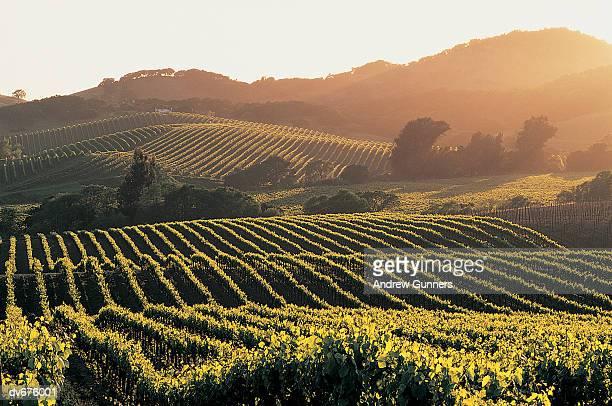 vineyards, napa valley, california, usa - napa california stock photos and pictures