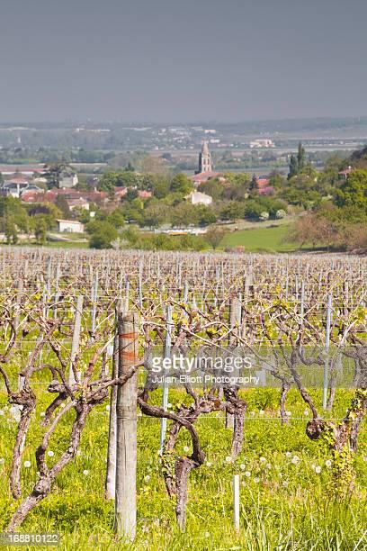 Vineyards near to Segonzac in France.