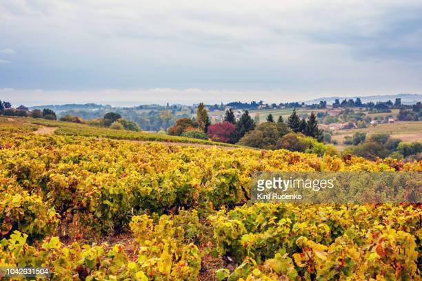 vineyards of beaujolais wine region, france - ローヌ県 ストックフォトと画像