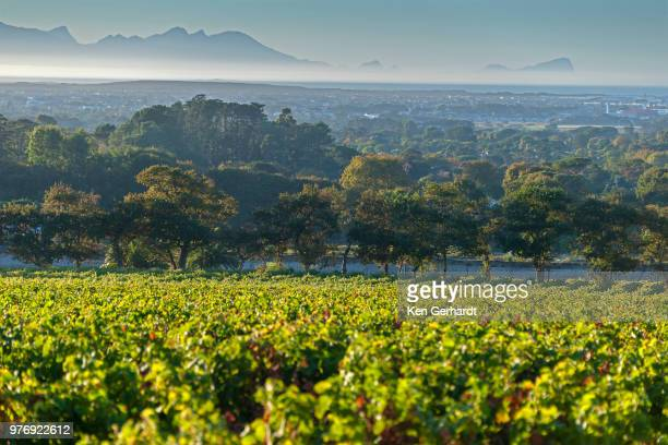 vineyards of groot constantia estate. cape town. rsa - constantia stock pictures, royalty-free photos & images