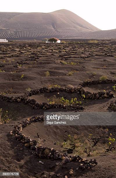 vineyards of la geria. - wineyard stock photos and pictures