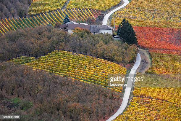 vineyards of moscato in piedmont - piedmont italy stock pictures, royalty-free photos & images