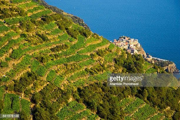 vineyards on cinque terre coastline - liguria foto e immagini stock