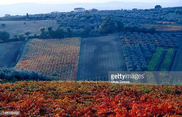 vineyards. - reggio nell'emilia bildbanksfoton och bilder