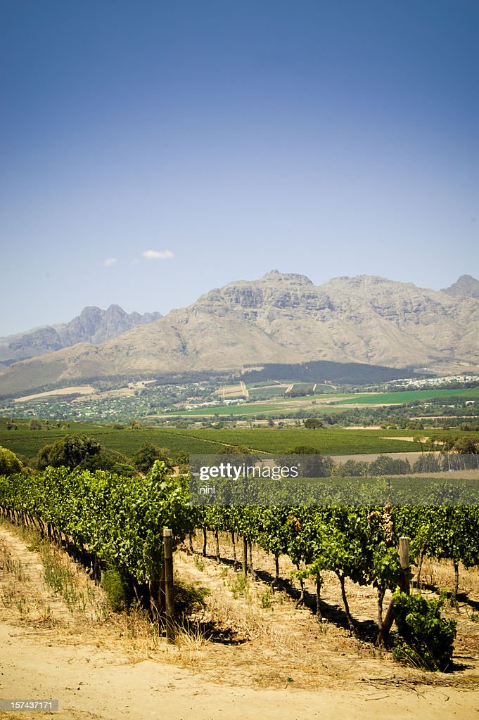 Vineyards : Stock Photo