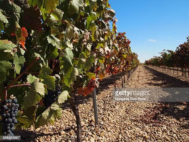 vineyards - castilla y león bildbanksfoton och bilder