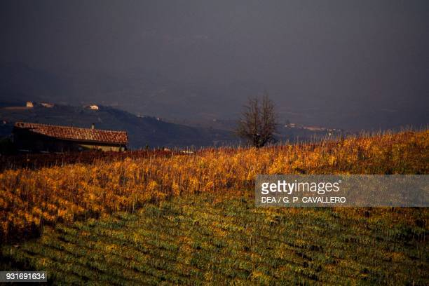 Vineyards rows of vines Castiglione Falletto Langhe the Vineyard Landscape of Piedmont Piedmont Italy