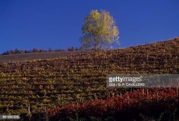 Vineyards rows of vines near Novello the Vineyard Landscape of Piedmont Piedmont Italy