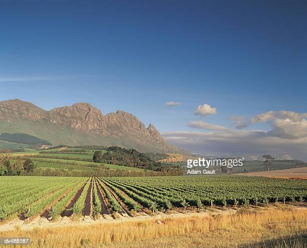 Vineyards, Stellenbosch, South Africa