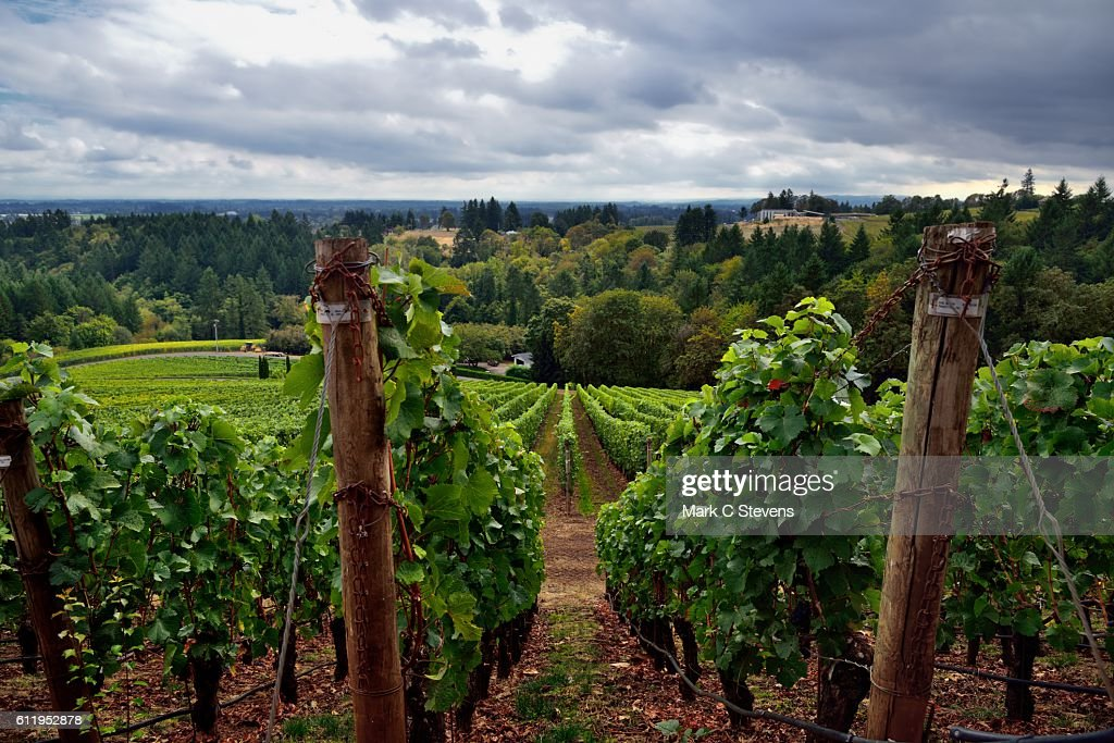 Vineyards Stretching Down the Valley and the Willamette Countryside Valley Beyond : Stock Photo