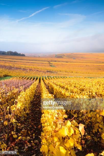 vineyards, verzenay, champagne ardenne, france - マルヌ県 ストックフォトと画像
