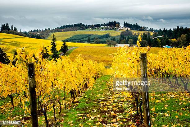 vineyards with fall foilage in willamette valley - salem oregon stock pictures, royalty-free photos & images