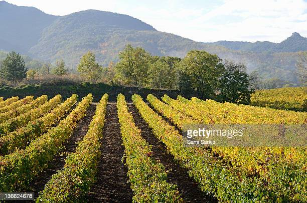 vineyards with fall foliage, aoc faugeres - herault stock pictures, royalty-free photos & images