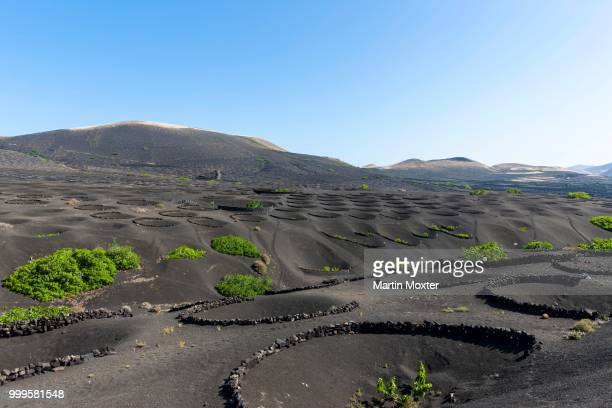 Viniculture, vines growing on lava protected from the wind by lava walls, dry cultivation, volcanic landscape near La Geria, Lanzarote, Canary Islands, Spain