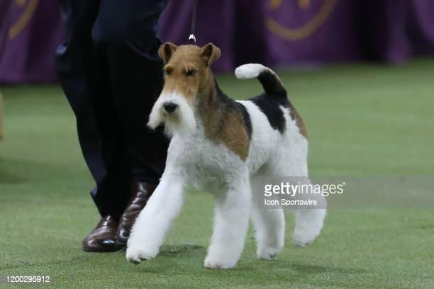 Vinny, a Wire Fox Terrier competes during the Best in Show during the Westminster Dog Show on February 11, 2020 at Madison Square Garden in New York,...
