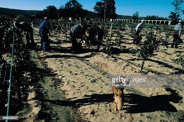 Vintage A group of workers picking the grapes of a vineyard Valbuena of Duero Valladolid province