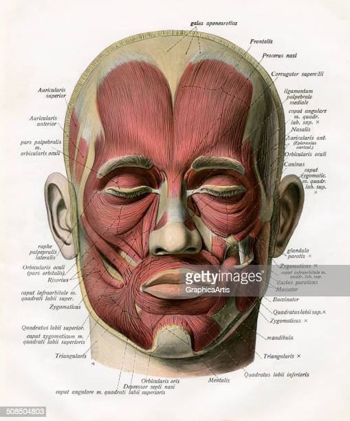 Face Muscles Anatomy Stock Photos And Pictures Getty Images