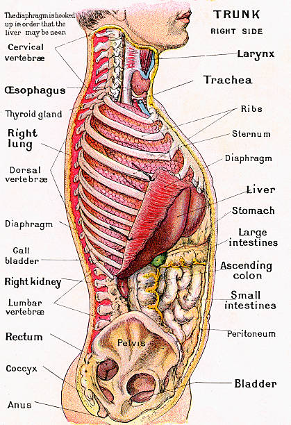 Anatomical View Of Human Torso Pictures | Getty Images