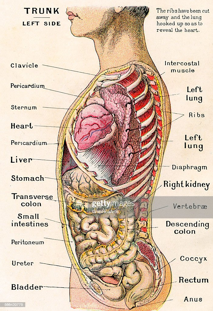 Anatomical View Of Human Torso Pictures Getty Images