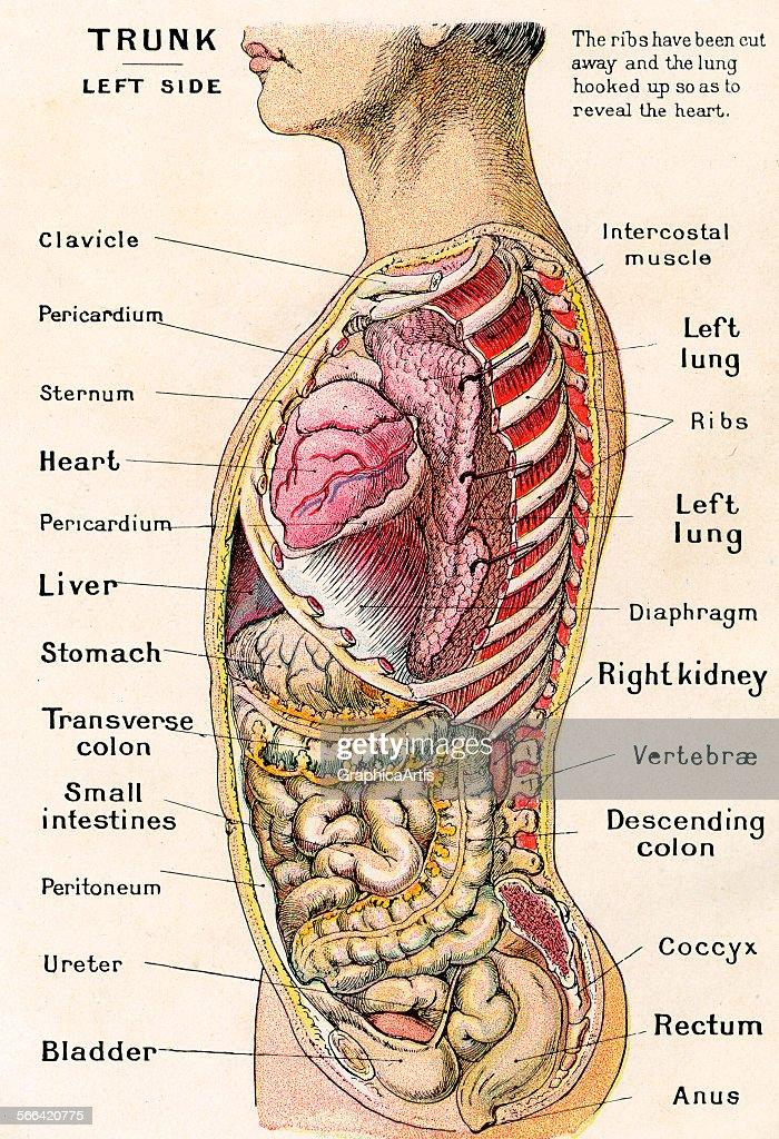 Human Organ Diagram Side View - DIY Wiring Diagrams •
