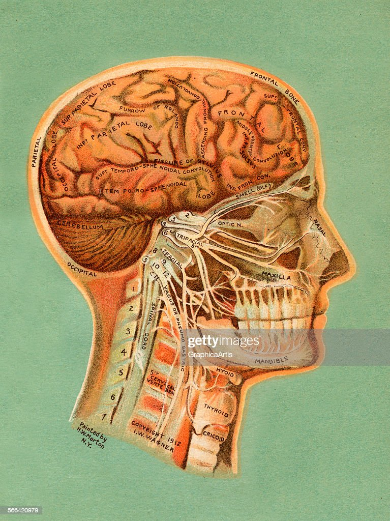Brain And Nerves Of The Head Pictures | Getty Images