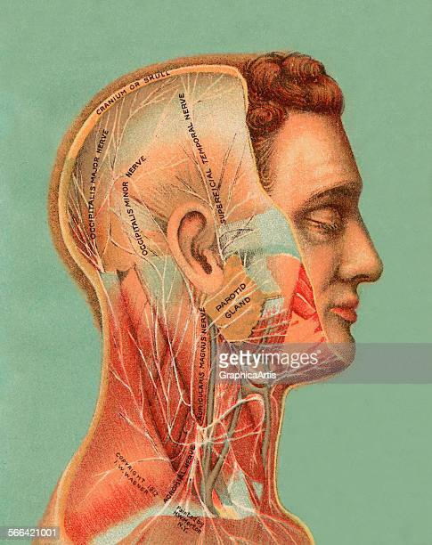 Vintage anatomical study of the male human head showing the major nerves chromolithograph 1913