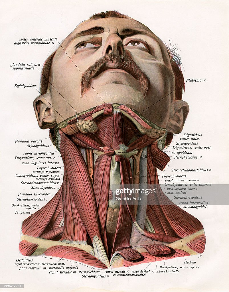 Frontal View Of Neck Muscles Pictures | Getty Images