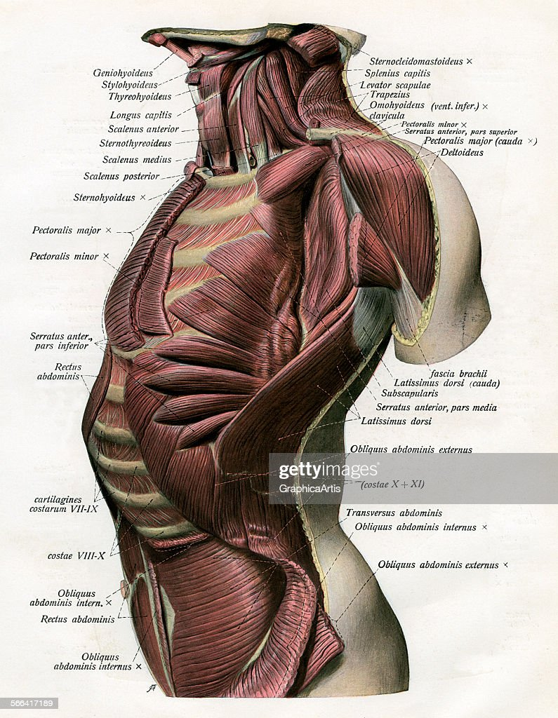 Vintage Anatomical Study Of The Muscles And Ligaments Of The Human