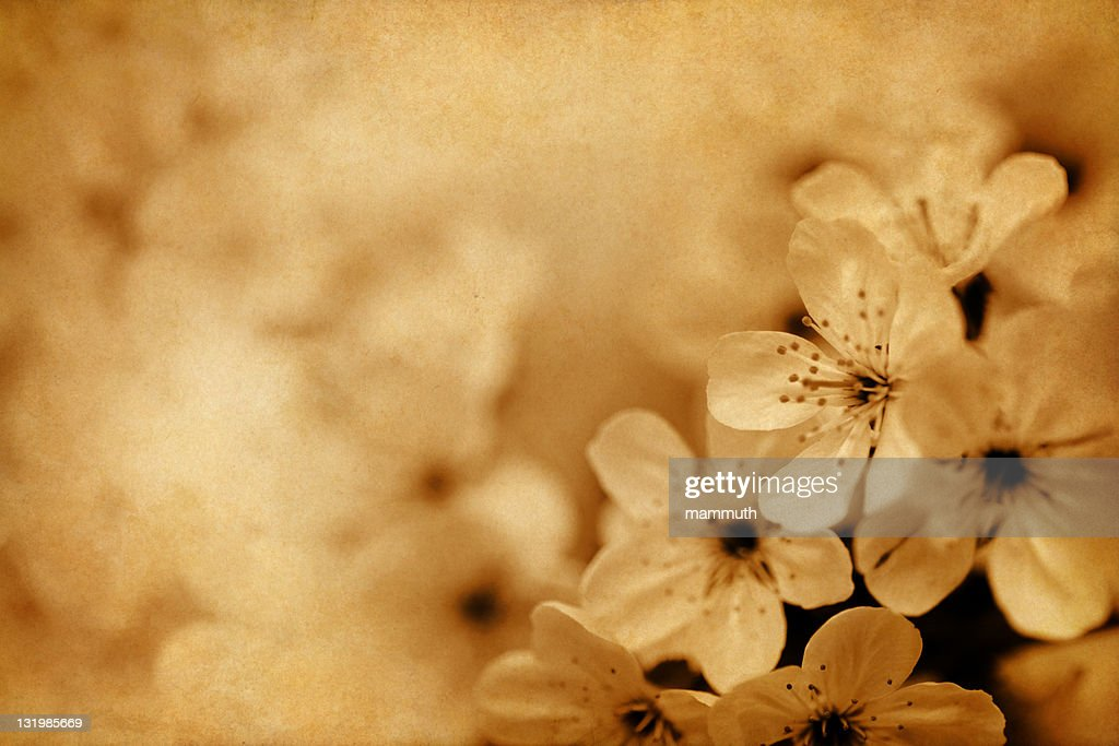 vintage cherry blossom : Stock Photo