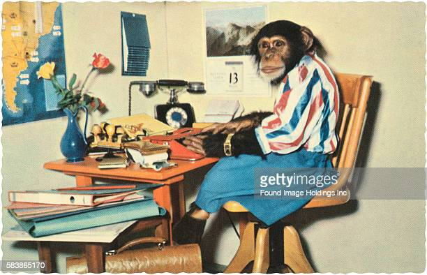 Vintage color photograph of a chimpanzee in a skirt stupid blouse wristwatch and boots seated at a cluttered desk in a faux office typing on a red...