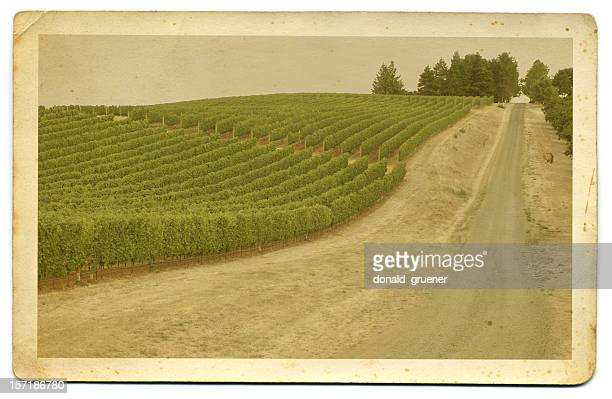 Vintage Hand-tinted photo or postcard of vineyard