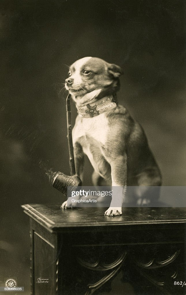 Vintage humorous photograph of a chihuahua smoking a long-stemmed pipe, 1912. Toned silver print.