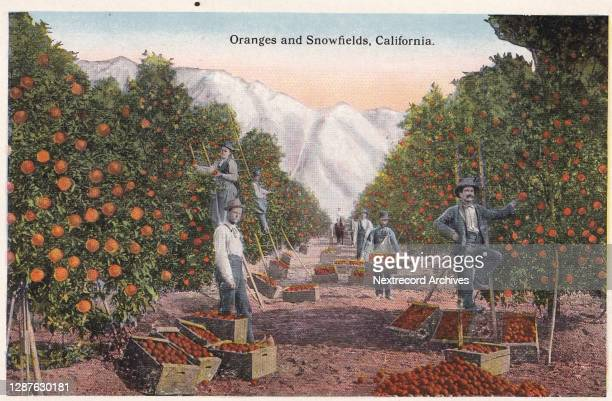 Vintage illustrated linen postcard published in 1940 from series depicting Southern California Souvenir Views, here a view of fruit filled trees in...