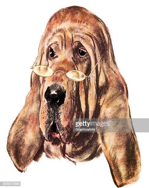 Vintage illustration of a bloodhound wearing reading glasses; lithograph, 1957.