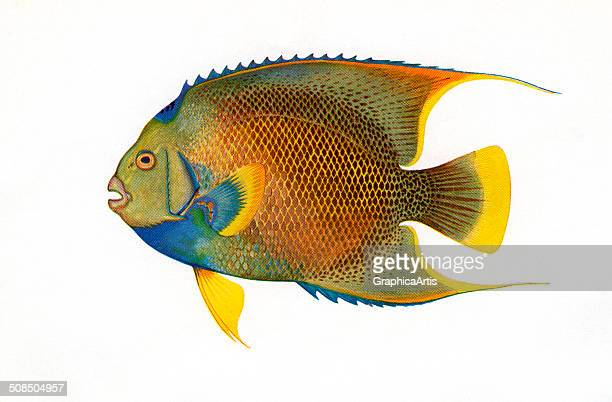 Vintage illustration of a tropical Blue Angelfish c 1920 Screen print